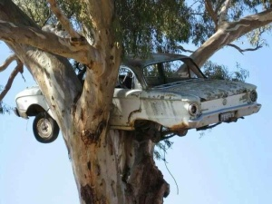 Ford Falcon deposited in the crown of a tree, apparantly by a flood